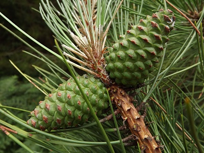 Click image for larger version.  Name:Pine Cones.jpg Views:90 Size:99.3 KB ID:13991