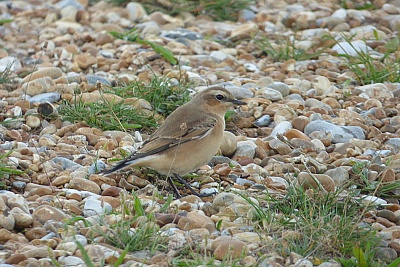 Click image for larger version.  Name:Wheatear 3.jpg Views:59 Size:104.7 KB ID:14000