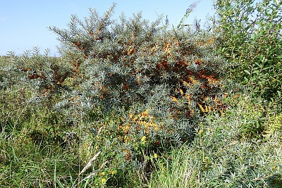 Click image for larger version.  Name:Sea Buckthorn 1.jpg Views:76 Size:96.0 KB ID:13998