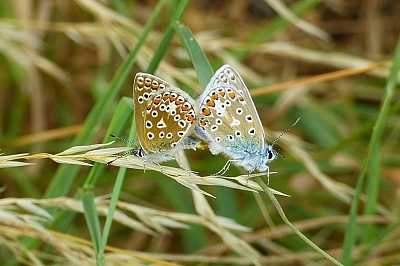 Click image for larger version.  Name:Common Blue - female and male.jpg Views:45 Size:95.9 KB ID:14010