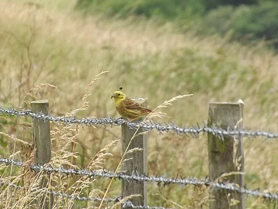 Click image for larger version.  Name:Yellowhammer 1.jpg Views:44 Size:94.9 KB ID:14016