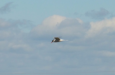 Click image for larger version.  Name:Common Tern 1.jpg Views:38 Size:63.6 KB ID:13981
