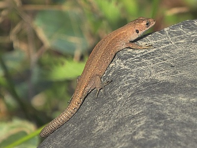 Click image for larger version.  Name:Common Lizard 3.jpg Views:104 Size:97.0 KB ID:13994