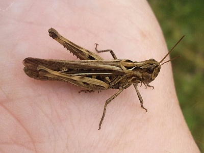 Click image for larger version.  Name:Field Grasshopper1.jpg Views:59 Size:92.3 KB ID:14012