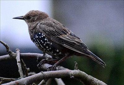 Click image for larger version.  Name:young-starling-2.jpg Views:104 Size:96.1 KB ID:9976