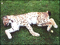 lynx-killed-in-1991-Norfolk