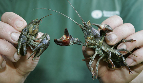 Crayfish - Native White Clawed on the Left, Signal on the right